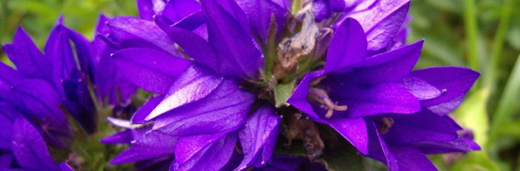 Campanula glomerata  – dzwonek skupiony
