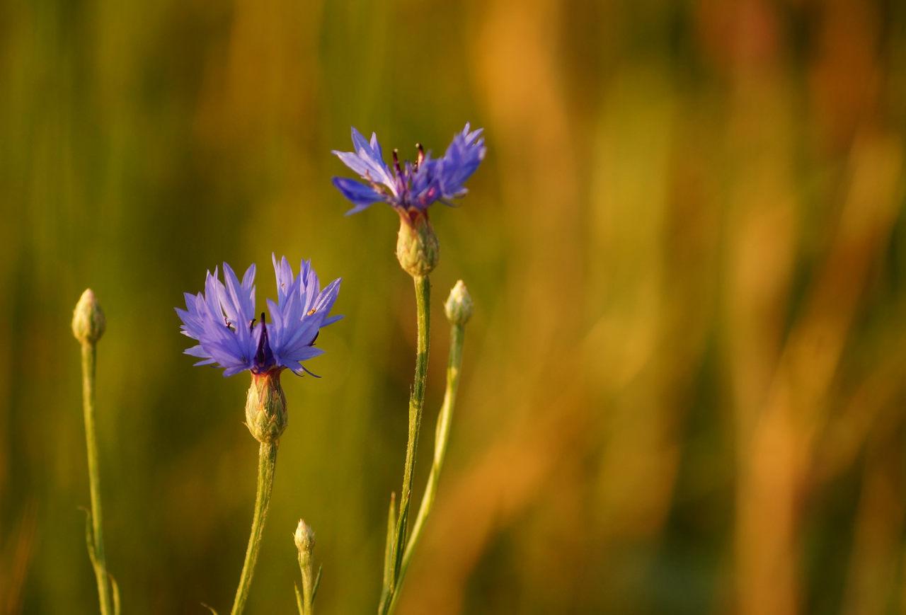 Centaurea cyanus – chaber bławatek