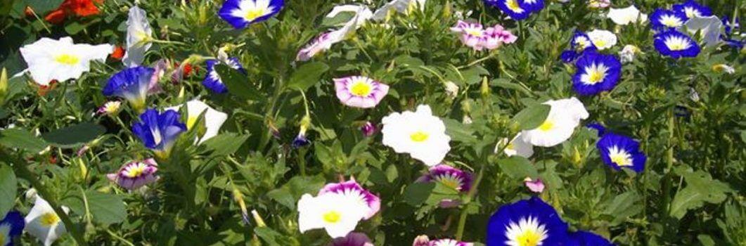 Convolvulus tricolor – powój trójbarwny