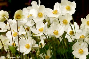 Anemone sylvestris - zawilec wielkokwiatowy