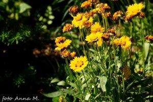 Coreopsis grandiflora - nachyłek wielkokwiatowy