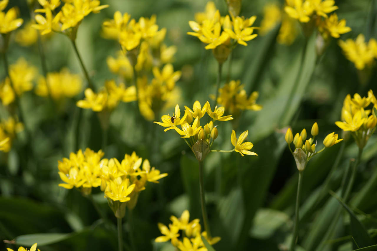 Allium moly – czosnek południowy, czosnek złocisty
