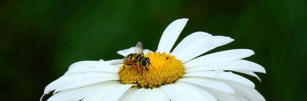 Chrysanthemum maximum, Leucanthemum maximum – złocień wielki, jastruń