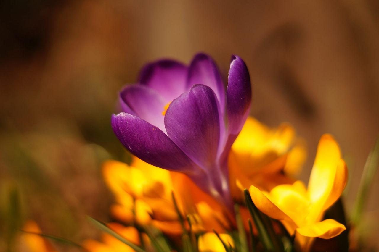 Crocus vernus – krokus wiosenny, szafran