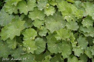 Alchemilla mollis, Alchemilla acutiloba – przywrotnik ostroklapowy