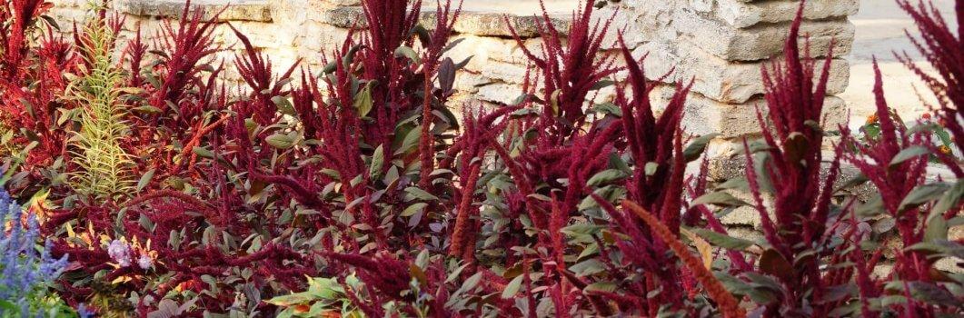 Amaranthus paniculatus – szarłat wiechowaty