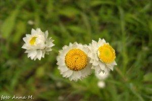 Ammobium alatum – złociszek oskrzydlony