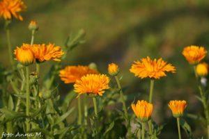 Nagietek to typowy przedstawiciel roślin wysiewanych wprost do gruntu