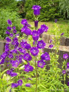 Campanula medium - dzwonek ogrodowy