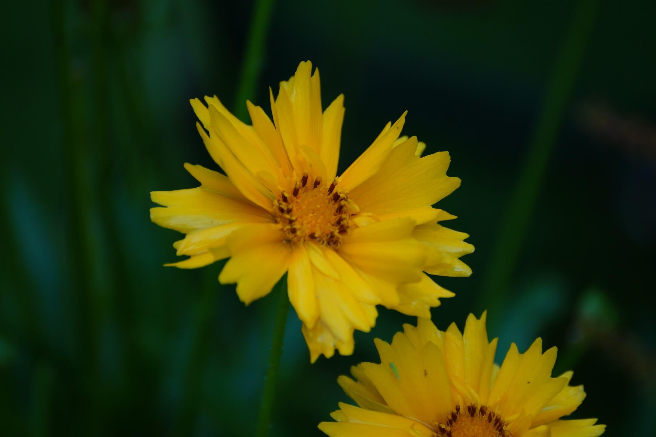 Coreopsis grandiflora – nachyłek wielkokwiatowy