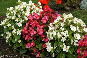 Begonia semperflorens - begonia stale kwitnąca