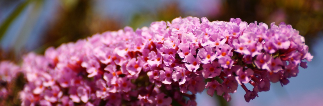 Buddleia davidii – budleja Davida, motyli krzew