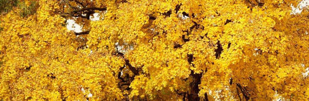 Acer campestre – klon polny, paklon