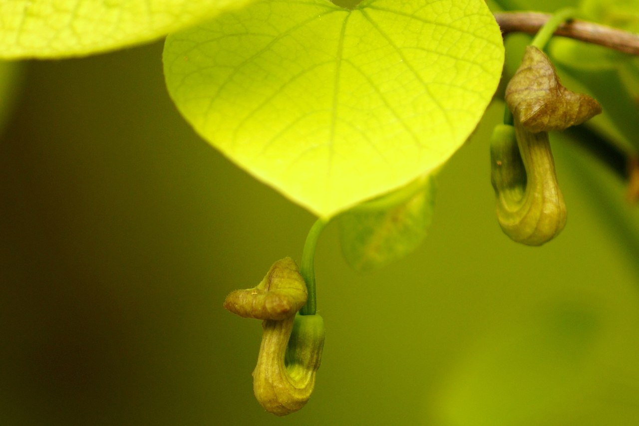 Aristolochia durior – kokornak wielkolistny