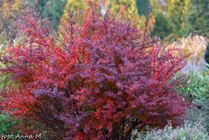 Berberis thunbergii - berberys Thunberga najładniej prezentuje się jesienią