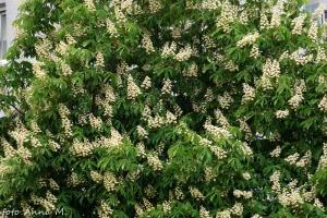 Aesculus hippocastanum - kasztanowiec biały