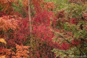 Owocujący dławisz wspina się po cypryśniku, arboretum Bolestraszyce
