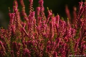 Calluna vulgaris - wrzos pospolity