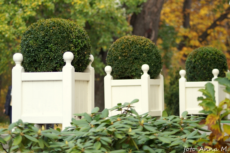 Buxus sempervirens - bukszpan wiecznie zielony,w pojemnikach, Łazienki Królewskie
