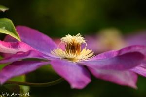 Clematis x jackmanii - powojnik wielkokwiatowy