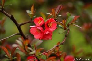 Chaenomeles speciosa - pigwowiec pośredni, kwiaty