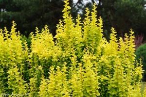 Berberis thunbergii - berberys Thunberga, jedna z odmian o złocistych liściach