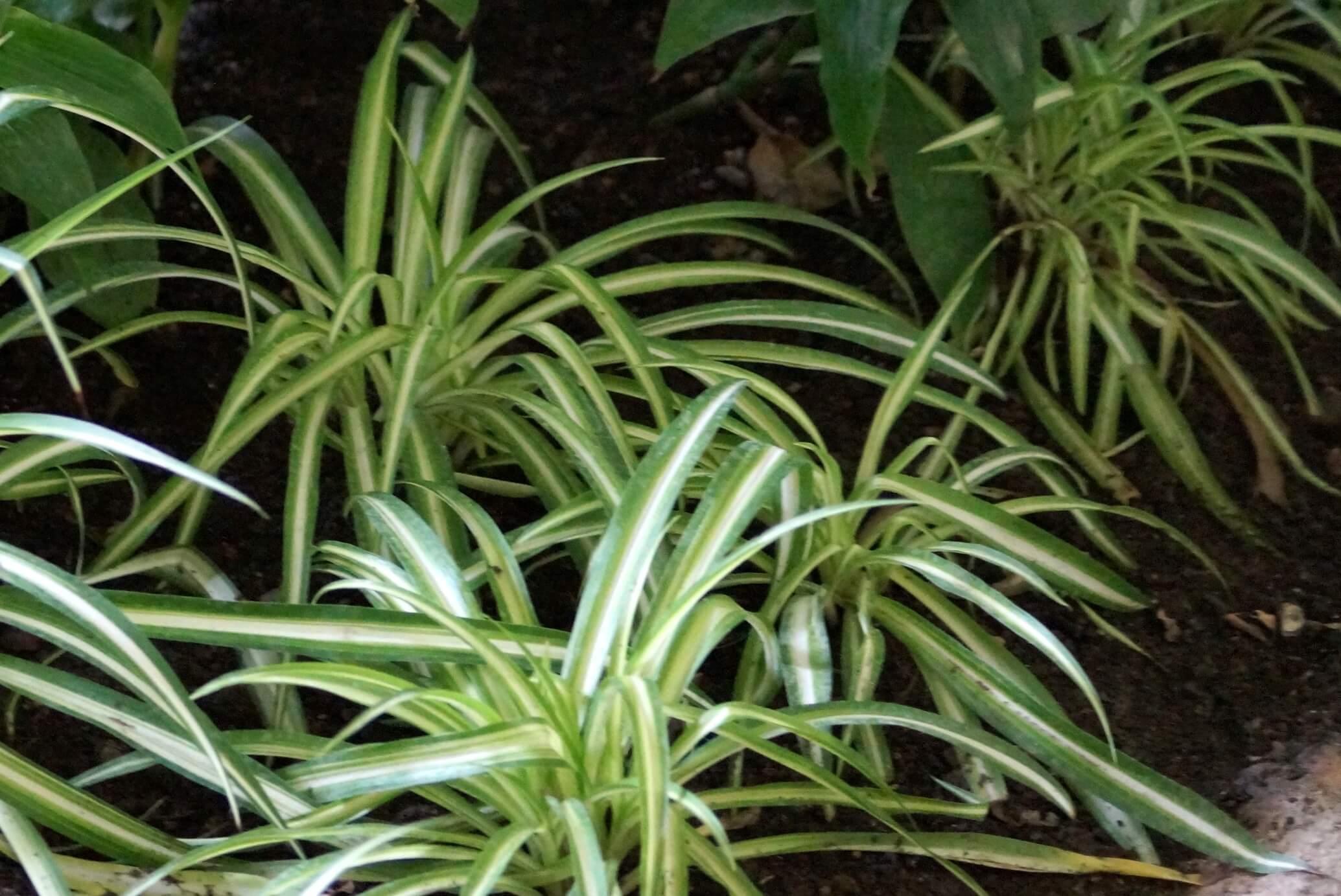 Chlorophytum comosum – zielistka Sternberga