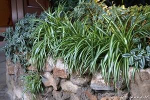 Chlorophytum comosum - zielistka Sternberga