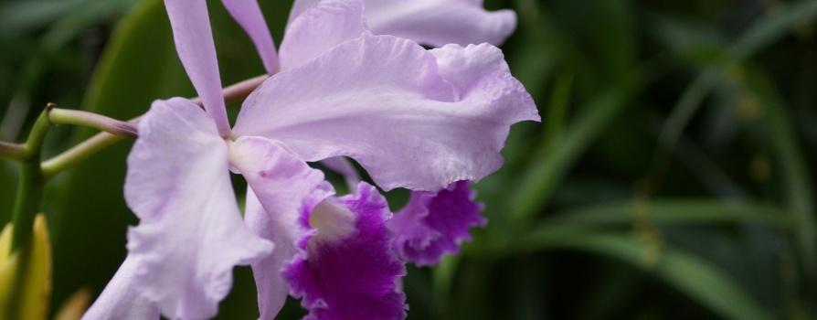 Cattleya – katleja
