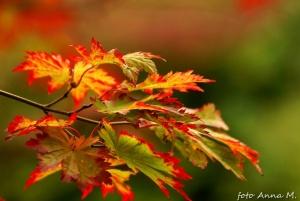 Wiele klonów ładnie przebarwia się na jesieni