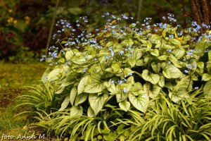 Brunnera macrophylla - brunnera wielkolistna, kaukaska niezapominajka