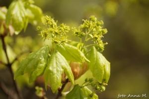 Acer platanoides - klon zwyczajny, liście i kwiaty