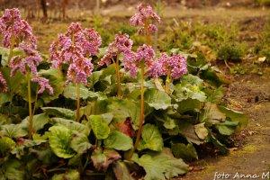 Bergenia cordifolia, Megasea cordifolia - bergenia sercolistna