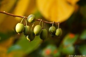 Actinidia arguta - aktinidia ostrolistna, owoce - kiwi