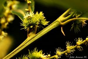 Castanea sativa - kasztan jadalny, młode owoce