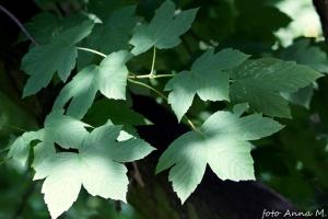 Acer pseudoplatanus - klon jawor, jawor, liście