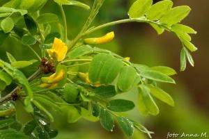 Caragana arborescens - karagana syberyjska, kwiaty