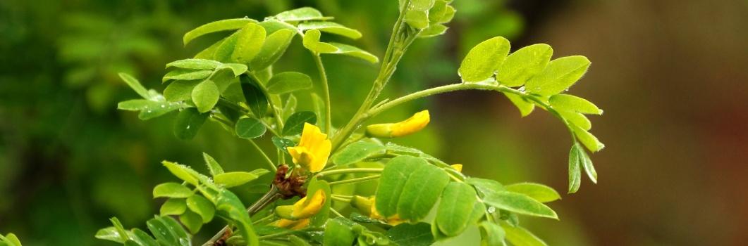 Caragana arborescens – karagana syberyjska