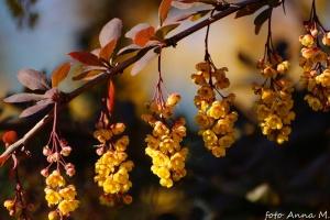Kwiaty berberysu zwyczajnego
