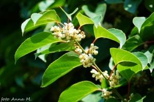 Actinidia arguta - aktinidia ostrolistna, kwiaty