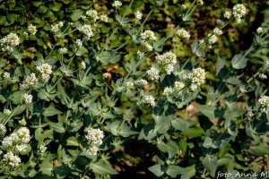 Centranthus ruber `Albus` - ostrogowiec czerwony odm. biała