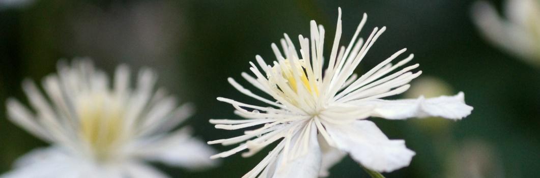 Clematis vitalba – powojnik pnący