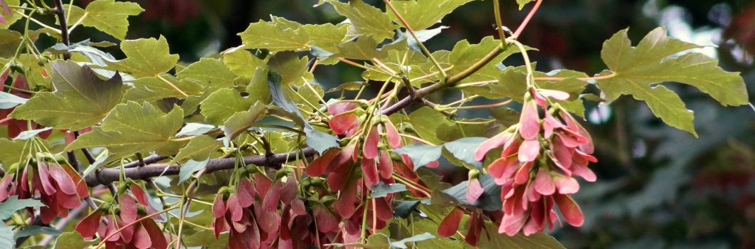 Acer pseudoplatanus – klon jawor, jawor