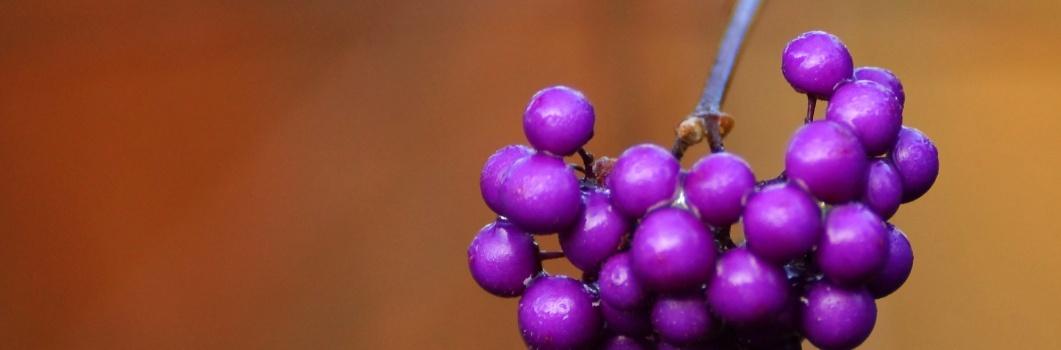 Callicarpa bodinieri – pięknotka Bodiniera