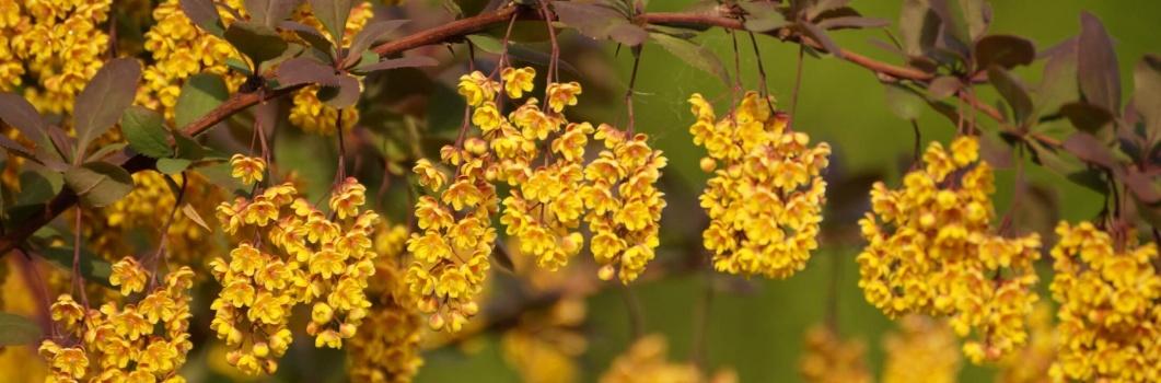 Berberis vulgaris – berberys zwyczajny, kwaśnica