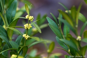 Buxus sempervirens - bukszpan wiecznie zielony, niepozorne kwiaty