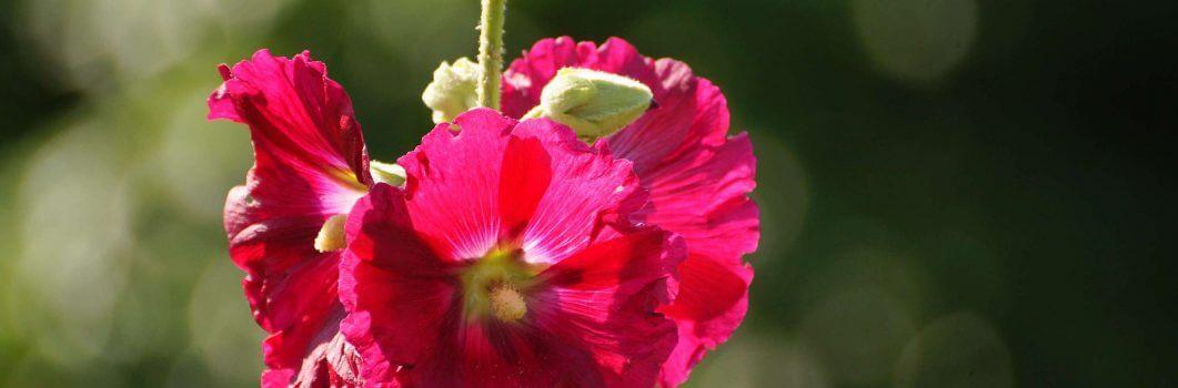 Althea rosea – prawoślaz lekarski, malwa