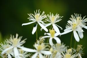 Clematis vitalba - powojnik pnący