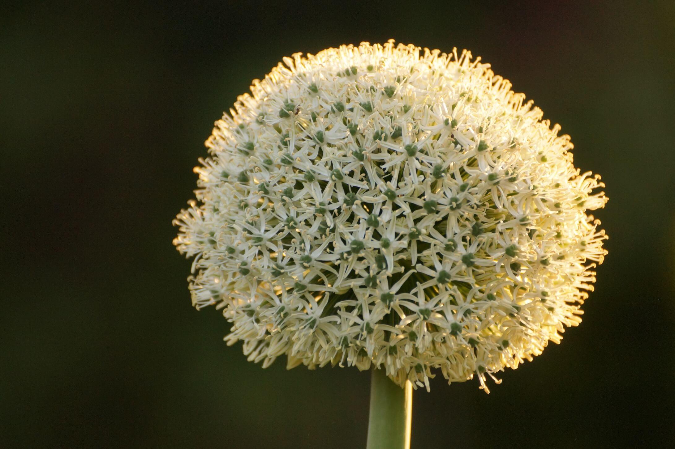Allium karataviense – czosnek karatawski
