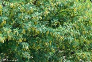 Caragana arborescens - karagana syberyjska, owoce